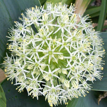Flowering Onion Seeds Allium karataviense Seeds Exotic Flowers Onion White Giant Allium Giganteum Dwarf Pompon Garden