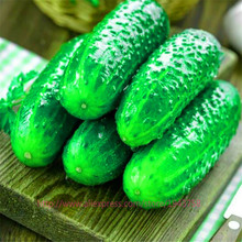 100pcs japan mini cucumber seeds Inorganic fruit,vegetable seeds,taste good quality Family garden plant Free Delivery(China)