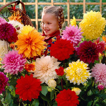 Dahlia Seeds - Mixed Colour Rare Dahlia pinnata Flowers Seed! Perennial Plant Bonsai flowers seeds for Home garden 50pcs/bag