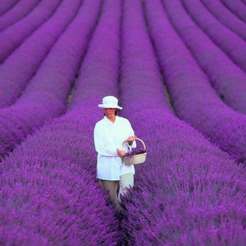 Best Can Lavender Be Grown Indoors Contemporary - Interior Design ...