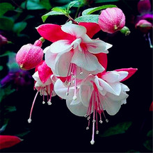 Mix Fuchsia Seeds Very Beautiful Balcony Potted Bonsai Flower Plant Hanging Fuchsia Seeds for DIY home garden 20 seeds/pack(China)