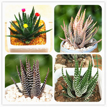 100 Pcs Haworthia Fasciata Seeds Aloe Vera Seeds Succulent Plant RARE JAPANESE Mini Milk Flower Seeds Bonsai For Home Garden(China)