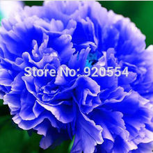 10pcs/lot Double Light Blue Tree Peony Seeds, 'Noble' Rare Peony Tree Seeds bonsai plant home garden free shipping P11