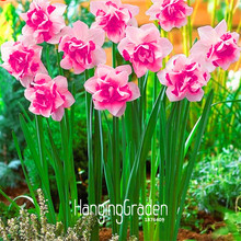 Time-Limit!!Bonsai Seeds of Aquatic Plants Double Petals Pink Daffodils Seed for Home Garden 100 Seeds/Lot