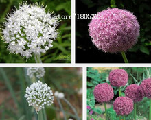 500/PAC Flowering Onion Seeds Allium FLOWER Seeds Exotic Flowers Onion White Giant Allium Giganteum Dwarf Pompon Garden