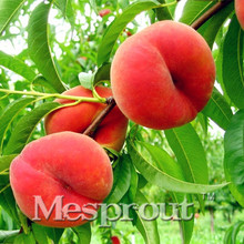 10 Pcs Mini Flat Peach Seeds Good Quality Small Potted Tree Seed Delicious Fruit Bonsai Sementes Jardin Plantas Semi Frutta Seed(China)