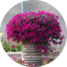 Imported Very Beautiful Hanging Bonsai Petunia Flower Seeds, Professional Pack, 200 Seeds / Pack, Plant all Seasons Available