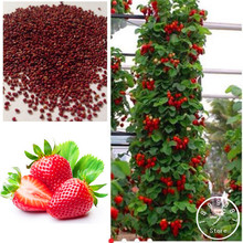 Hot Sale!200 Pcs Climbing Red Strawberry Seeds With SALUBRIOUS TASTE * NON-GMO Strawberry Mount Everest* EDIBLE * Fruit,#5JEMRO