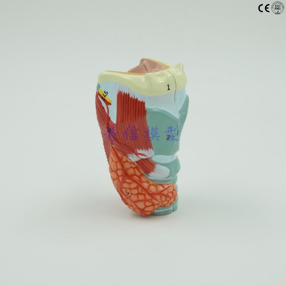 DongYun brand Human throat  anatomical model,thyroid parathyroid glands model Medical organs teaching supplies<br>
