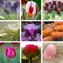 24 different colors of the Dutch tulip flowers tulip seeds potted bonsai home garden seed 120PCS