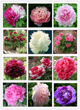 24 kinds Pretty Peony Seeds 15pcs/pack Free Shipping High Quality Peony Flower Seeds for home garden