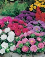 Chinese Aster Seeds (Callistephus)give you a garden full of bright, summer big flowers 50 Seeds Free Shipping  h21