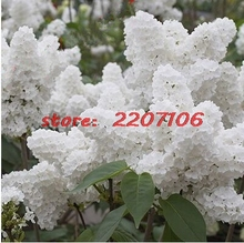 100pcs White Japanese Lilac (Extremely Fragrant) clove flower Seeds for home Little garden Soil planted Bubble bag * bonsai