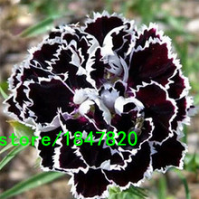 Rare Black Carnation Seeds Balcony Potted Courtyard Garden Plants Rose Dianthus Caryophyllus Flower Seeds 100PCS Free Shipping(China)
