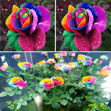 New Beautiful Romantic 500Pcs Rainbow Rose Seeds Multi Colored Fragrant Flower Home Garden Decoration