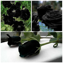 120 PCS Rare Black Rose Flowers Rare Amazingly Beautiful Black Rose Seeds a Popular Garden Flower