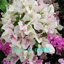Big sale Free shipping, Chinese bonsai Bougainvillea flower seeds bloom, beautiful tree flowering plants a packet of 100 seeds