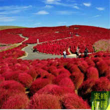 Tree seed red leaves ground skin seeds wheat seed peacock pine broom dishes about 100 seeds(di fu)(China)