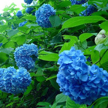 100 Pieces / Lot Bright Colors Blue Hydrangea Flower Seeds Upscale Beautify the Environment Courtyard Plant Home Garden Bonsai