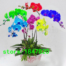 Rare 100PCS Mix Color Phalaenopsis Flower Seeds Bonsai Plant Butterfly Orchid DIY Yard Decoration