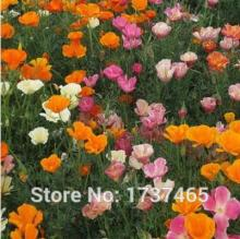 Real seed,200pcs/lot mixedEschscholzia caespitosa, California Poppy flower seeds bonsai plant DIY home garden free shipping