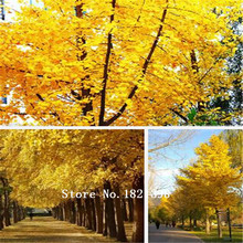 New Home Garden Plant 20 Seeds Ginkgo seeds biloba, Maidenhair Tree, Seeds (Fall Colors) Seeds Free Shipping