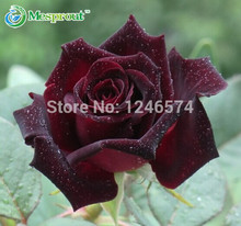 Black Baccara Rose Seeds 50PCS Black Rose seeds Flower seeds Garden Home Bonsai Plant Beautiful Flower Free shipping