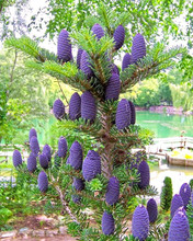 50 pcs/ lot purple Korean fir seeds - Abies koreana - bonsai tree seeds SOW ALL YEAR garden decoration tree DIY garden plant