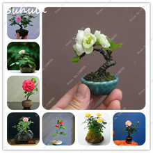 200 pcs mini rose bonsai miniature rose seed a little cute beautiful plants for home garden plant potted baby gift flower seeds(China)
