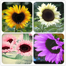 50PCS Color sunflower seeds,sunflower seeds for planting,bonsai flower seeds,10 colours,Natural growth for home garden planting