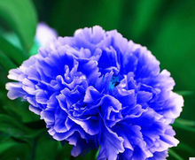 1 Professional Pack, 10 Seeds / Pack, Double Light Blue Tree Peony Seeds, 'Noble' Rare Peony Tree Plant  2017