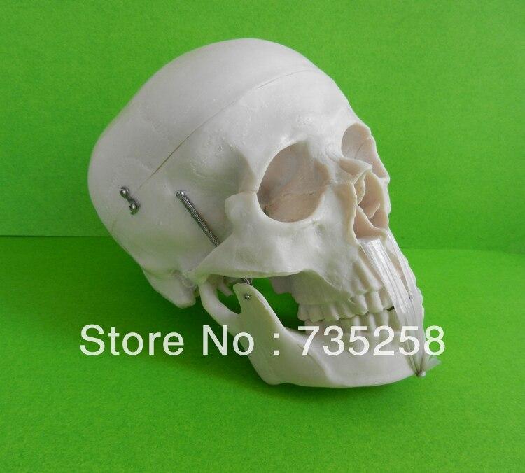 Life-Size Skull Model  , A 1:1 Model of the Skull  Simulation Model of the Skull<br>