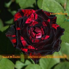 Bright-colored Red Stripe Black Rose Seeds, 100 Seeds/Pack, Double Tea Rose Garden Bonsai Ornamental Flowers