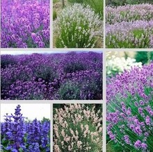 Free shipping 5 kind Lavender seeds herb seed garden balcony pot Four Seasons flower seeds 50Pcs(China)