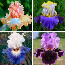 20pcs Bonsai Iris Flower Perennia Flower Seeds Rare Flower Seeds bearded iris seeds, Nature plants Orchid flower DIY for Garden(China)