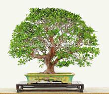 50 Ash tree seeds bonsai seeds green tree seeds for your DIY home garden free shipping