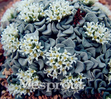 100PCS Colorful Meaty Plant Rain Heart Seeds succulent plant seeds Fleshy bonsai seeds Mini Crassula Vo lkensii Pot Flowers Seed(China)