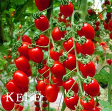 New Arrival!50 Pcs/Pack ITALIAN TREE TOMATO Seeds 'Trip L Crop' Seeds *Comb S/H Free shipping,#EM1MWR(China)