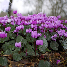 'Qiguaidao' Purple Eastern Cyclamen Seeds, 5 seeds, professional pack, a must for garden diy plant E4121