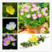 Oenothera biennis Seeds,100Pcs Evening Primrose Can Extraction Of Essential Oil Aromatic Plant Seeds,Easy Growing Bonsai Seeds(China)