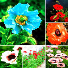 50 pcs / bag Home garden plant seeds. Corn poppy flower seeds. Beautiful garden with bonsai, balcony garden with ornamental plan