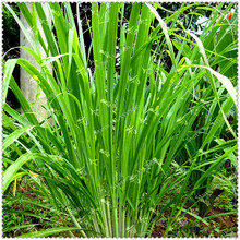 200pcs/bag Lemongrass Seeds Heirloom Organic Medical Herb Plants,bonsai plant home garden(China)