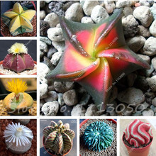 200 Pcs Five-pointed Star Meaty Seeds Radiation Protection Succulent Seeds Imported Cactus Bonsai Plant Pot Seed for Home Garden