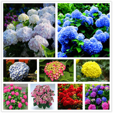 Hydrangea Seeds Mixed More than 24 Colors  Hydrangea Flowers seed Home DIY Garden plant Bonsai Viburnum 30pcs Hot sale