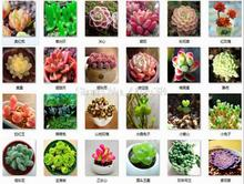 Potted flowers and Sedum Succulents radiation seeds fleshy seeds 5 seeds(China)