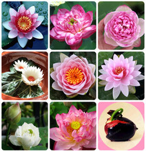 Flower Seeds Bowl Lotus Flower Hydroponic Aquatic Plants Lotus Seeds Perennial Water Lily Plant for Mini Garden 1pcs/PACKS(China)