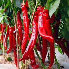 200 pcs seeds long hot pepper seeds , red hot chilli peppers, fruit and vegetable seeds(China)