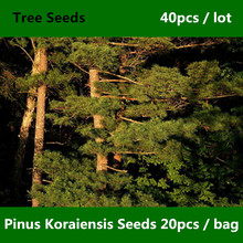 ^^Landscape Garden Pi nus Koraiensis Seeds 40pcs, Family Pinaceae Ornamental Korean Pine Seed, Evergreen Tree Hong Song Shu Seed(China)
