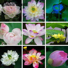 Hydroponic Flowers Small Water Lily Seeds Mini Lotus Seeds Bonsai Seeds Set Hydrophyte -10Particles / Bag