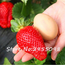 1000 PCS Giant Strawberry Seeds, Very Big Rare Sweet Four-season fruit Seeds vegetable, Bonsai Garden plants Indoor Balcony(China)